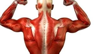 عضلات اصلی ترین اجزای بدن هستند
