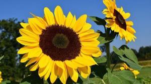 تولید بیش از ۳ هزار تن آفتابگردان در گلستان