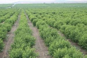 برداشت زیتون از باغات کشتوصنعت مغان آغاز شد