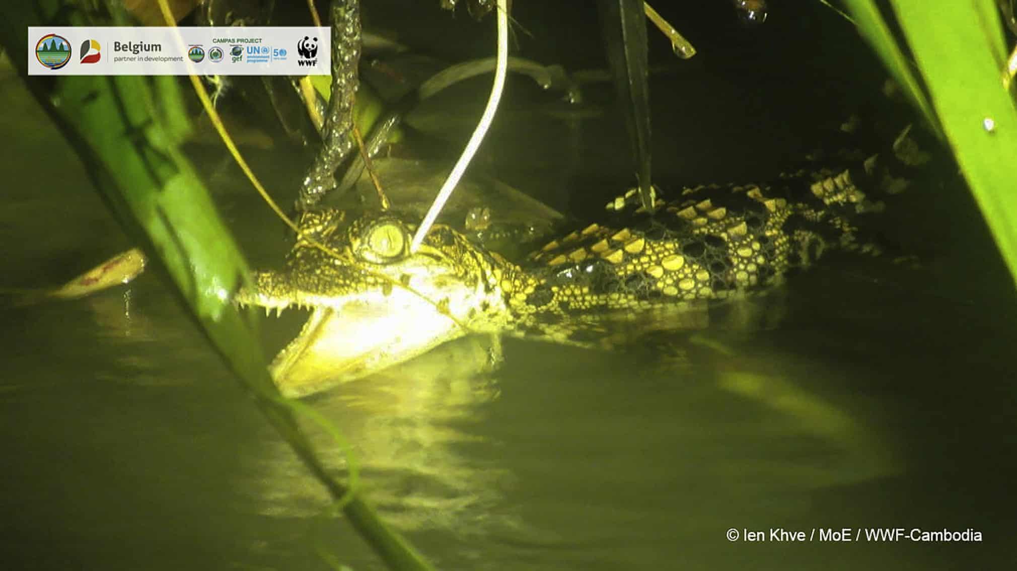 تصویری از تمساح سیامی در کامبوج