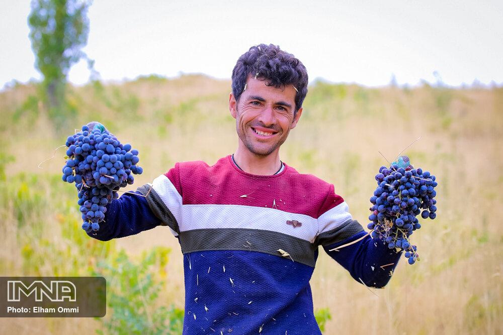 عکس/ برداشت انگور سیاه در روستای «نی» مریوان