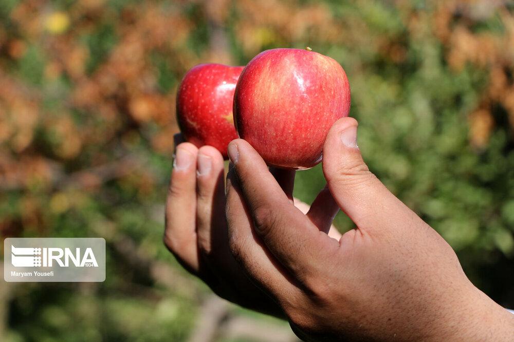برداشت سیب سرخ در آذربایجان شرقی