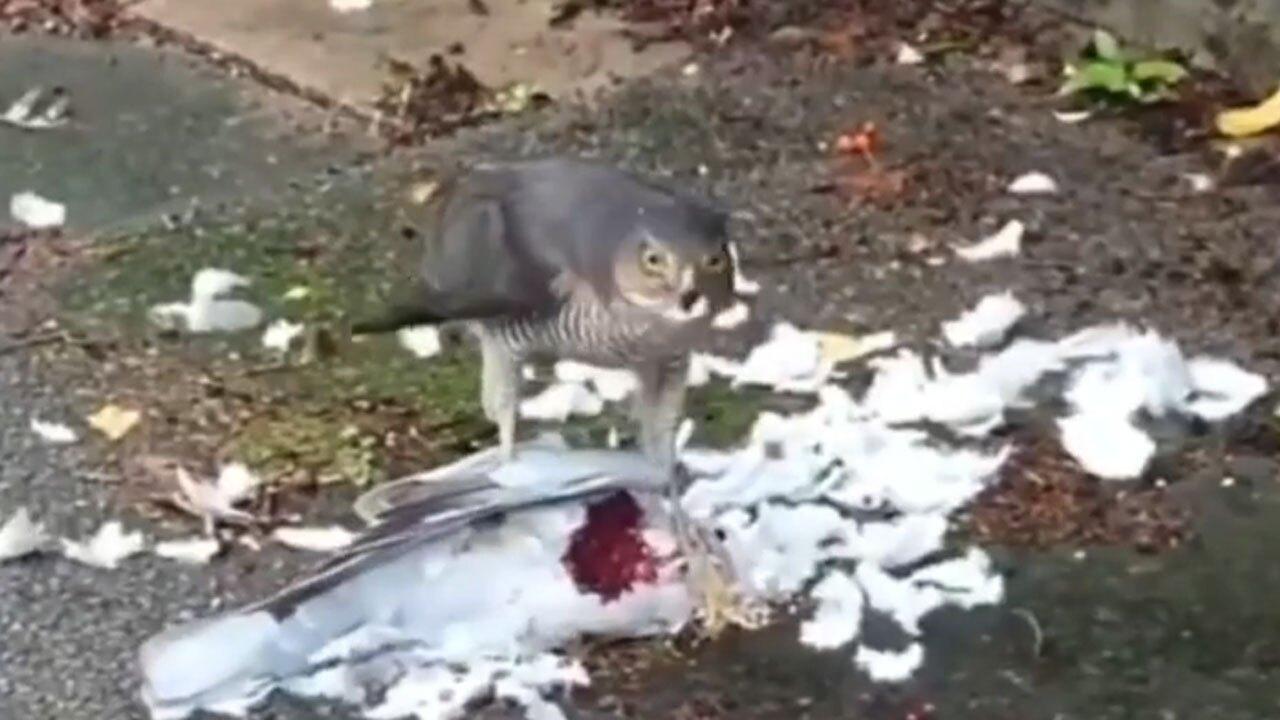 شکار موفقیت آمیز کبوتر توسط شاهین
