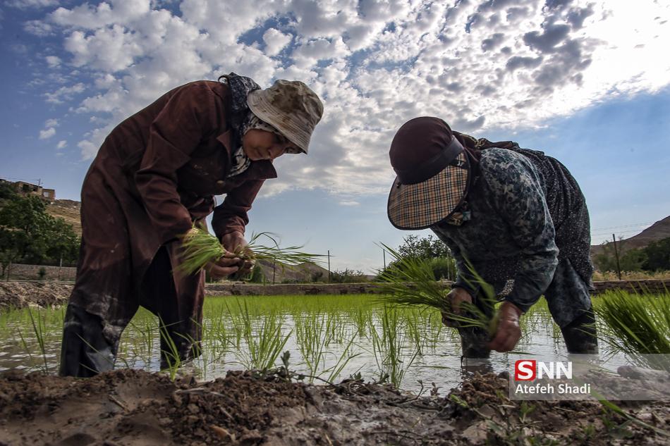 عکس/ تصاویری از کار پرزحمت نشاء برنج در شالیزارها