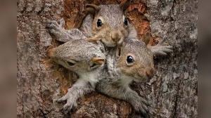 تلاش دیدنی سنجاب مادر برای بردن فرزند کوچکش به خانه!