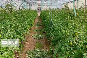 بیش از ۲۰۰۰ اشتغال در بخش کشاورزی قزوین ایجاد شد