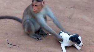 سرقت سگ توسط میمون وحشی!