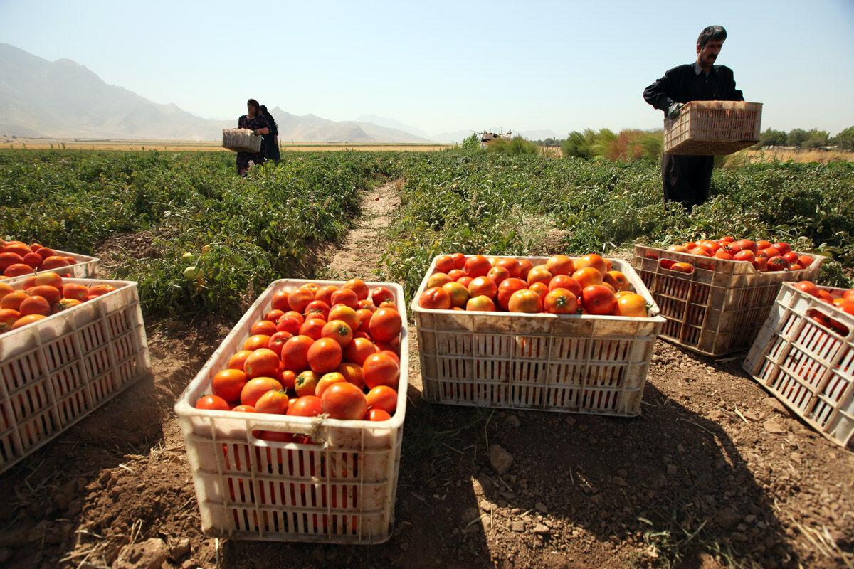 تولید گوجهفرنگی در مهاباد ۲۰ درصد کاهش یافت