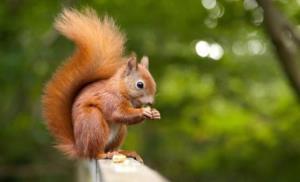 حمله سنجابها به محصولات باغی ساوجبلاغ