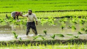 کشت برنج به روش قطرهای در رامهرمز
