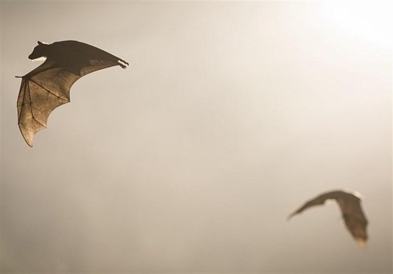 ادعای جدید محققان چینی: ویروس COVID-۱۹ ارتباطی با خفاش ندارد!