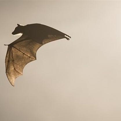 محققان چینی: کرونا ارتباطی با خفاش ندارد!