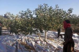 ۷۰ درصد محصول پسته یزد بر شاخه خشکید