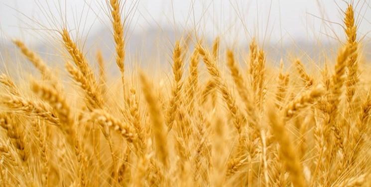 افزایش 6 دلاری قیمت گندم در بازارهای جهانی
