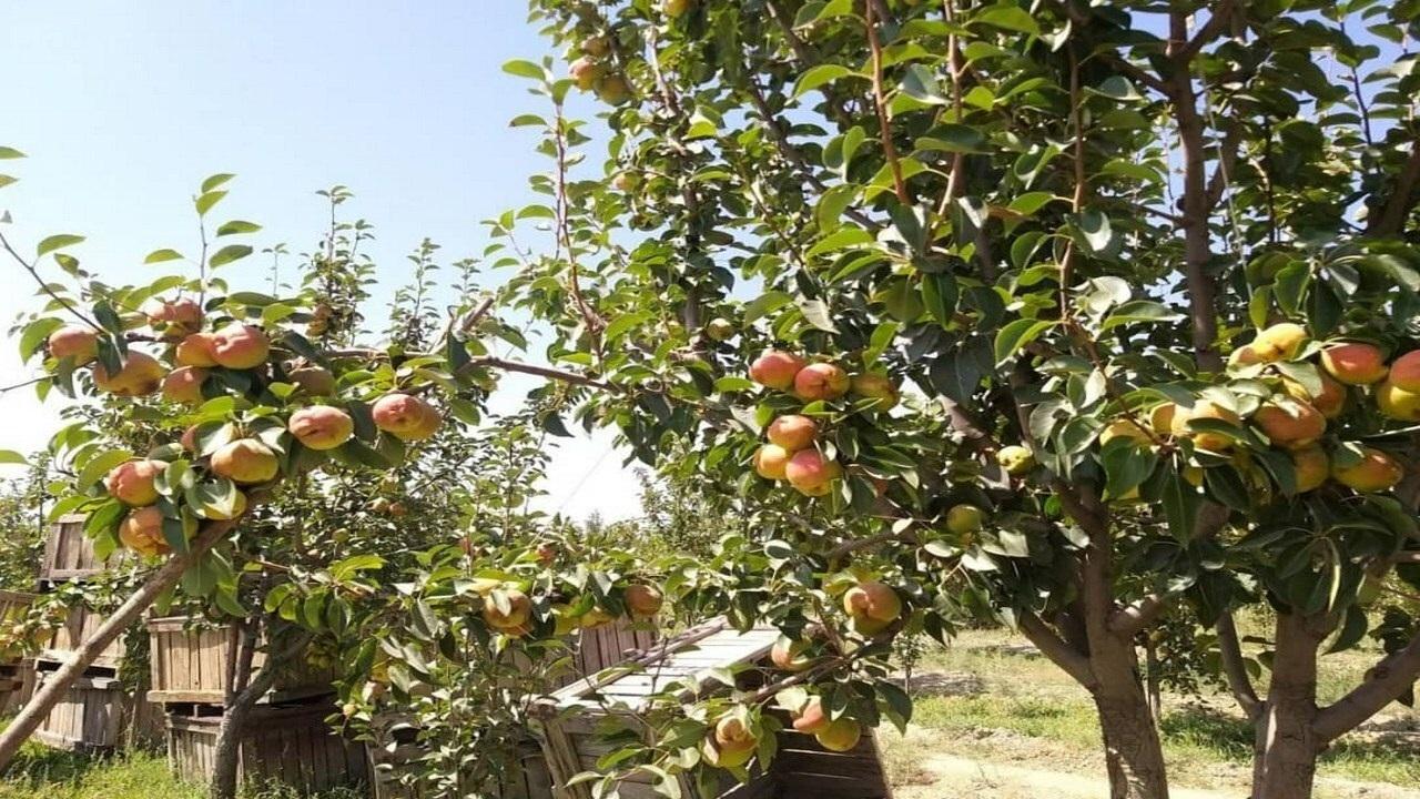 ۸۰۰۰ تن میوه گلابی از باغهای مشهد روانه بازار میشود