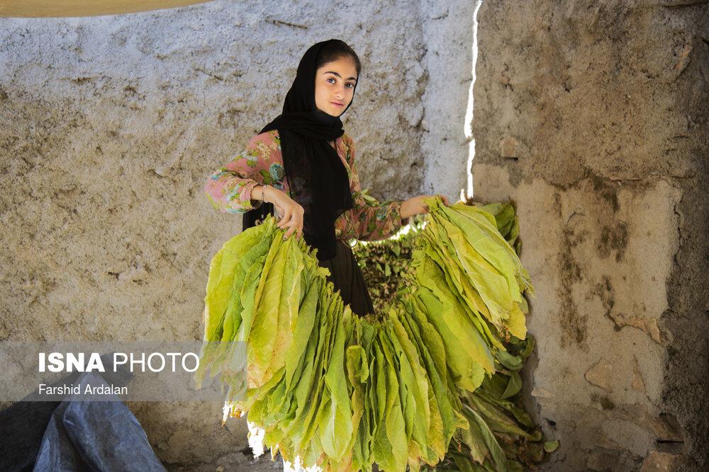 عکس/ برداشت «توتون» از مزارع مریوان
