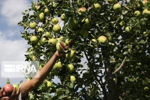 ۶۵ هزار تن سیب درختی تولیدی از آذربایجانغربی صادر شد