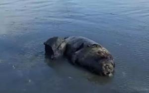لاشه یک قلاده فک خزری دیگر در سواحل انزلی کشف شد
