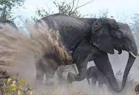 4گوشه دنیا/ حمله فیل خشمگین معبد به صاحبش!
