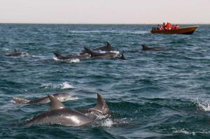 فرار دیدنی دلفین ها از نهنگ های قاتل