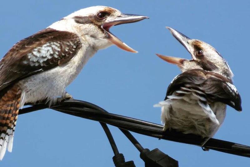 مبارزه جانانه دو پرنده بر سر شکار یک مارمولک نگونبخت!