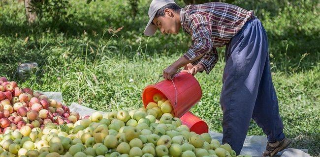 جهاد کشاورزی: باغداران مهابادی در برداشت سیب درختی عجله کنند