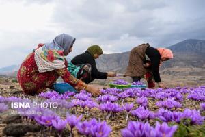احتمال کاهش تولید زعفران در سال جاری