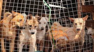 ممنوعیت مصرف گوشت سگ در کره جنوبی