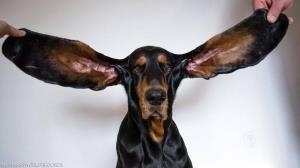 سگی که به لطف گوش های عجیب و بلندش در گینس ثبت شد!