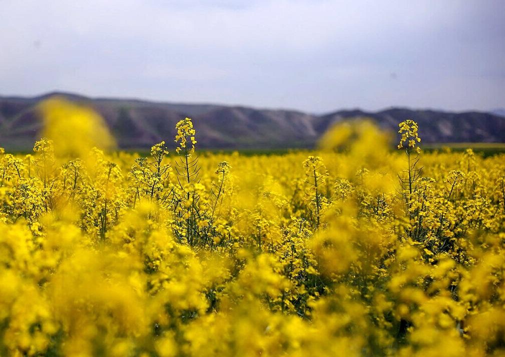 گام نخست کشت قراردادی دانههای روغنی در خوزستان آغاز شد