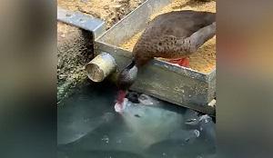 صحنه ای جالب از غذا دادن اردک به ماهی ها