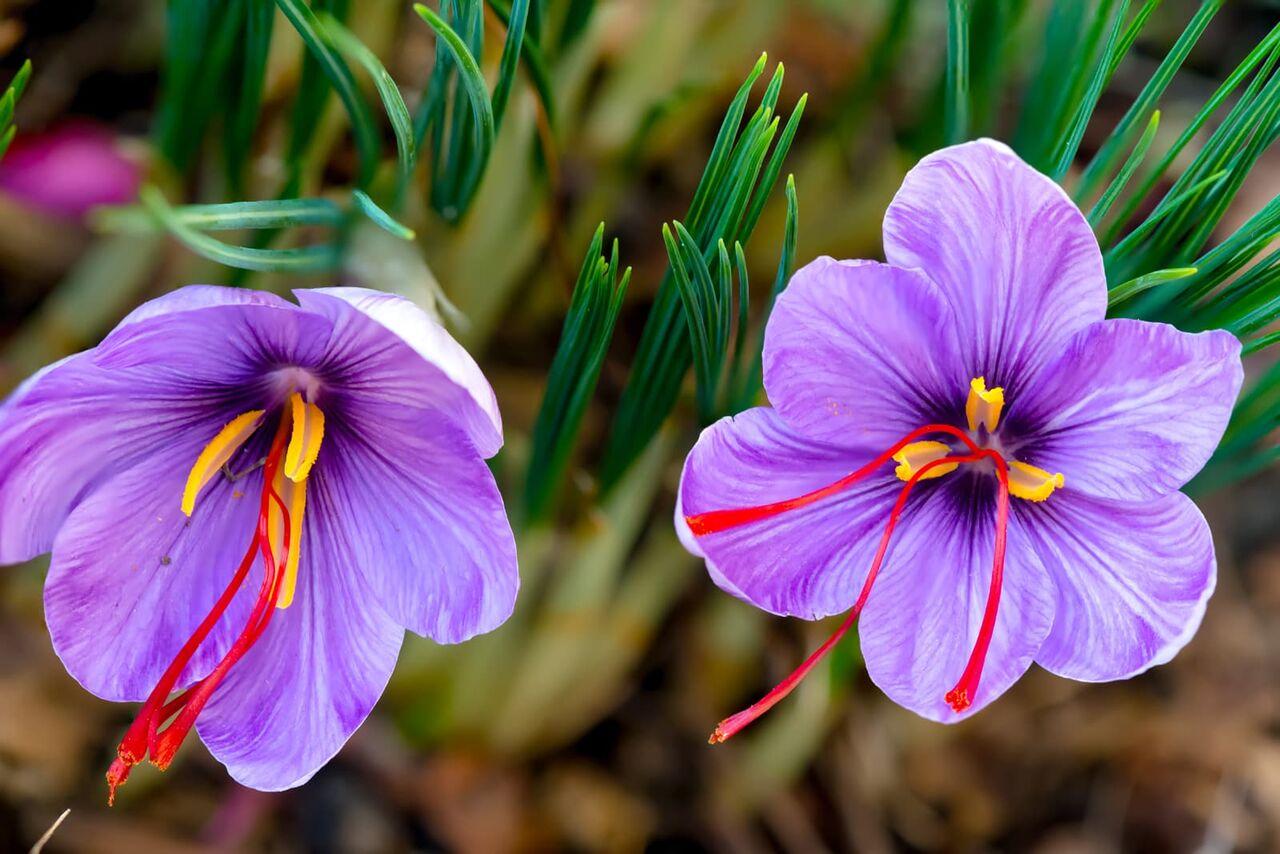 برداشت نوبرانه گل زعفران در گلستان آغاز شد