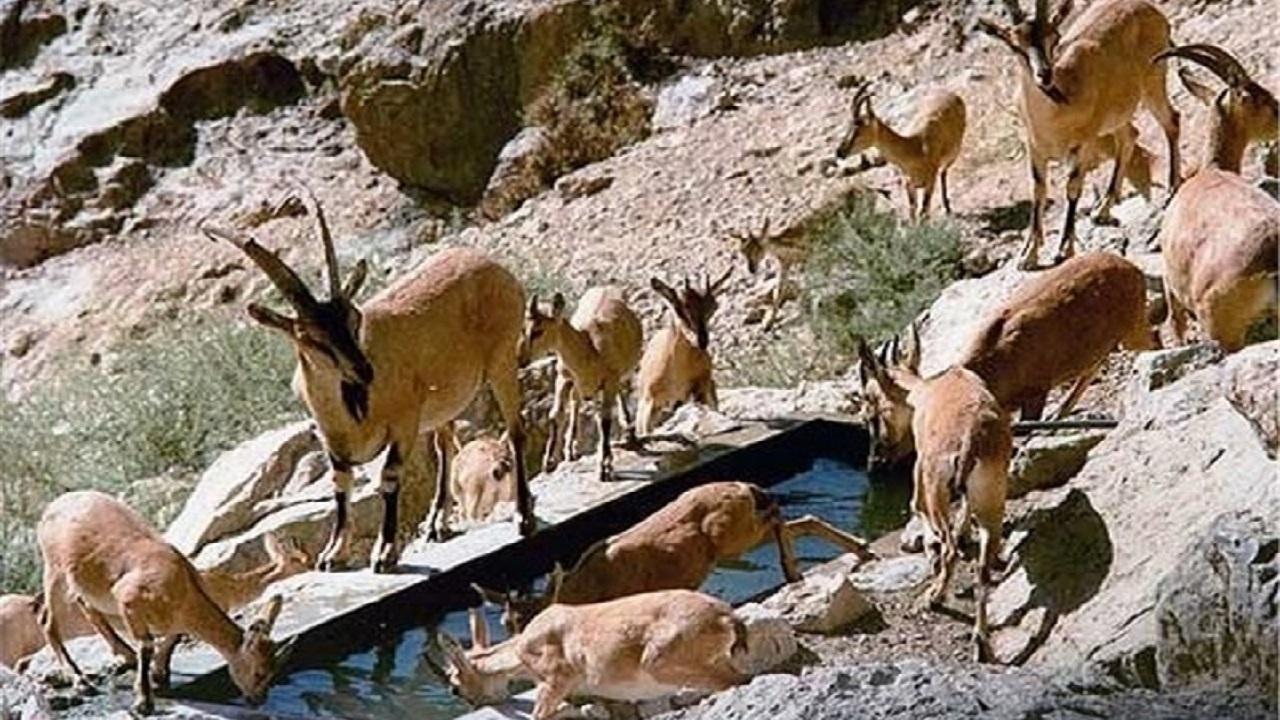 زنگ خطر طاعون نشخوارکنندگان در استان مرکزی