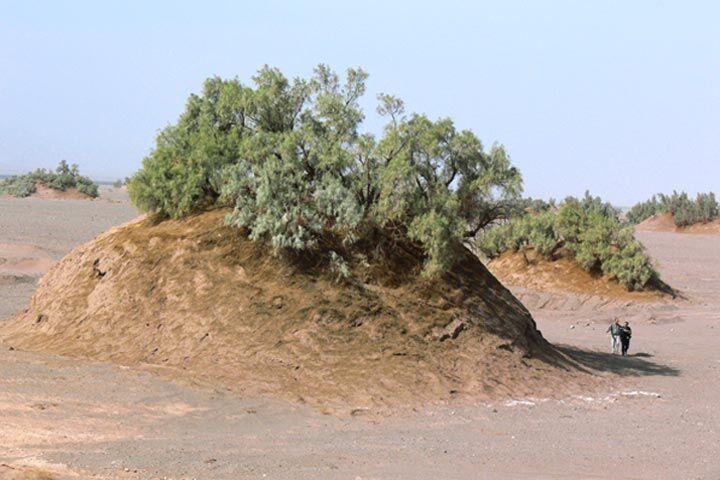 کشف و ثبت بلندترین گلدان بیابانی جهان به ارتفاع ۲۱ متر در بیابان لوت