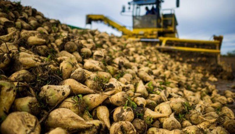 برداشت چغندر در مزارع استان قزوین آغاز شد
