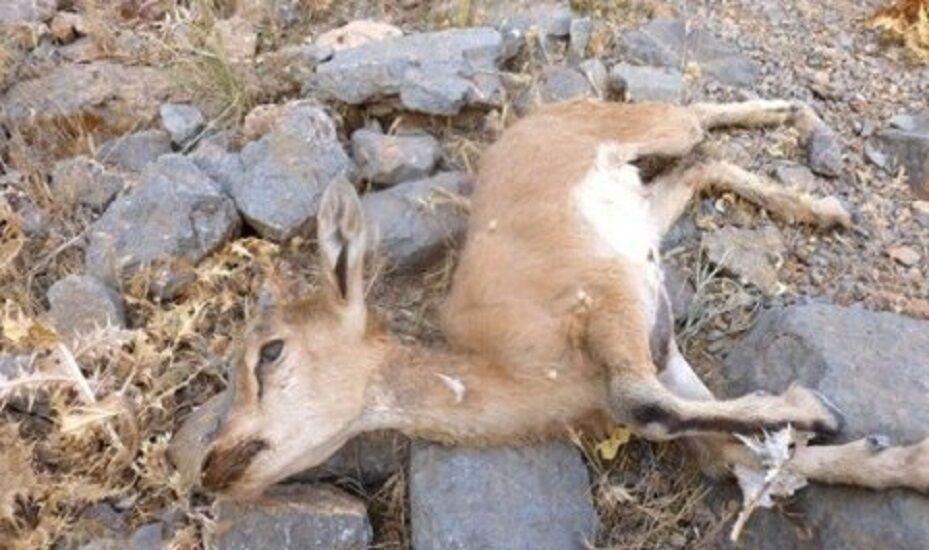 کشف لاشه ۱۲ رأس وحوش پارک ملی سارک اسفراین