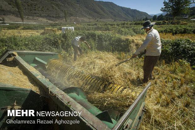 پیشبینی برداشت ۴۵۰۰ تن برنج در شهرستان چرداول