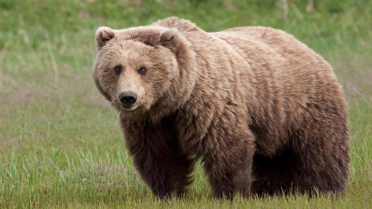 شکار خرس توسط زوج شکارچی برای رسیدن به چربی زیر پوستی