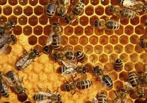 برداشت بیش از ۲۰ تن عسل از زنبورستانهای شهرستان سرخس