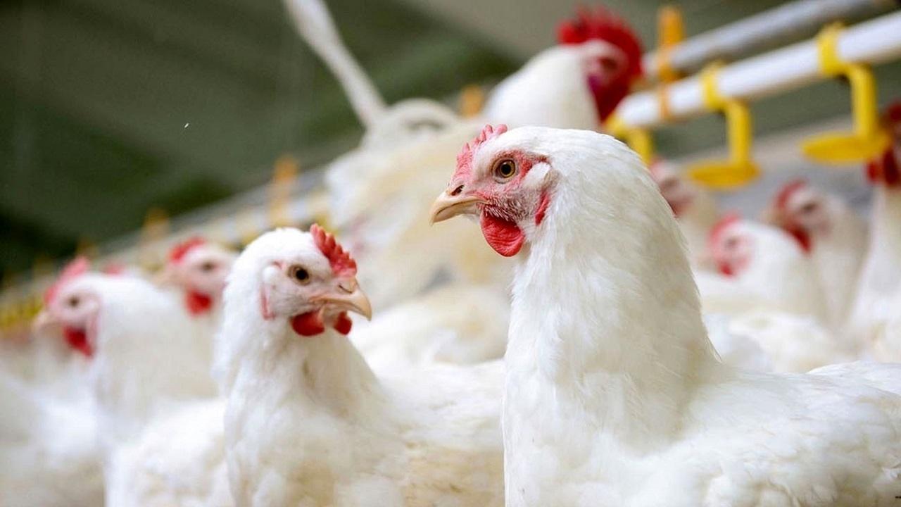 توقیف کامیون حامل مرغ قاچاق در سلطانیه