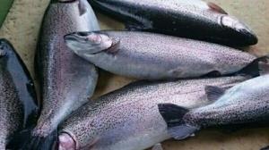 افزایش ۱۰۰ درصدی قیمت ماهی قزلآلا در کردستان