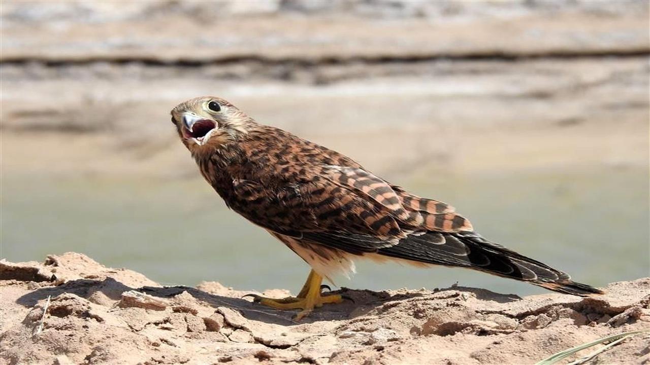 کشف یک بهله پرنده شکاری شاهین از منزل متخلفی در فیروزآباد