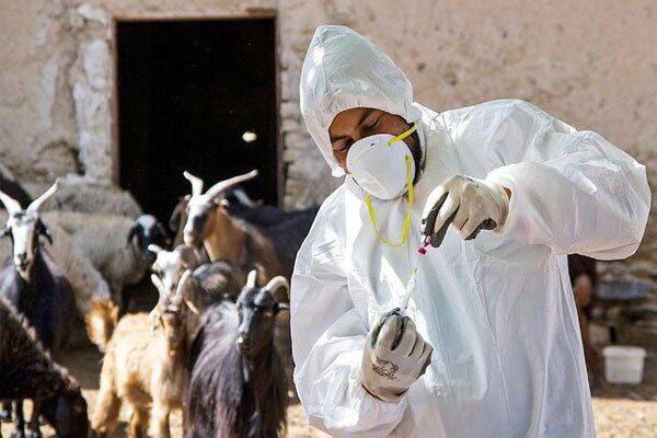 ۱.۵ میلیون رأس دام سبک در کردستان علیه طاعون واکسینه شد