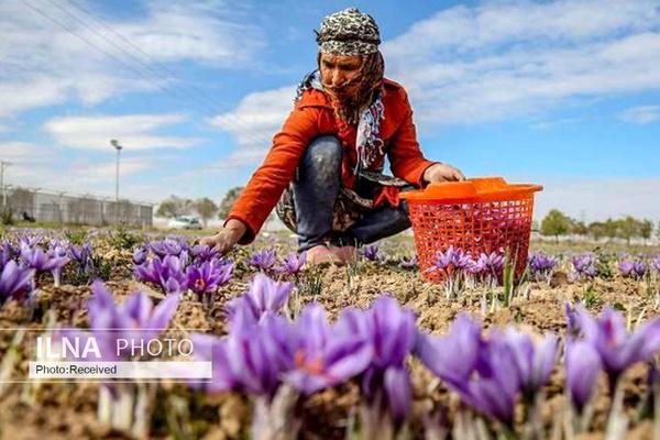 هیچ اقدامی برای توقف قاچاق زعفران به افغانستان نمیشود