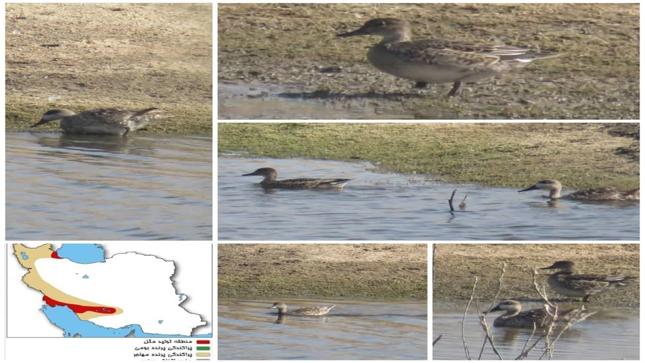 ۱۰ گونه نادر اردک مرمری برای نخستین بار به کرمان آمدند