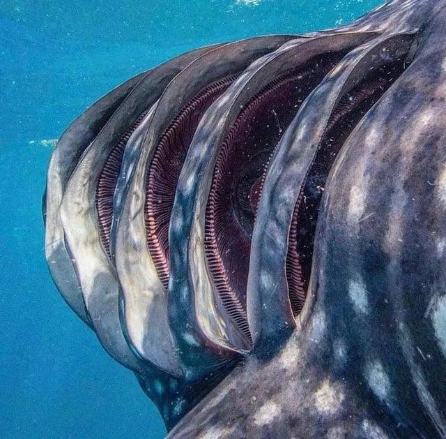 نمای نزدیک آبشش های کوسه نهنگ