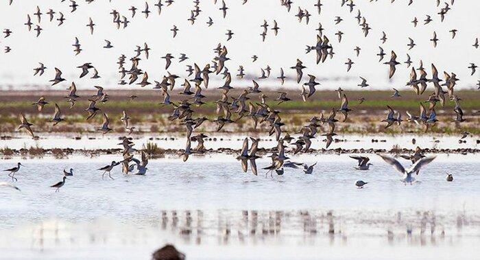 پرندگان مهاجر در زیستگاه تالابی میقان اراک فرود آمدند