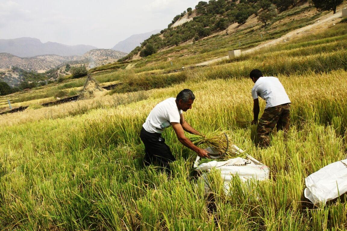 پیشبینی برداشت ۴۵ هزار تن محصول برنج در چرداول