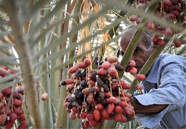 برداشت ۶۵۰۷ تن خرما از نخلستانهای شهرستان کرمان