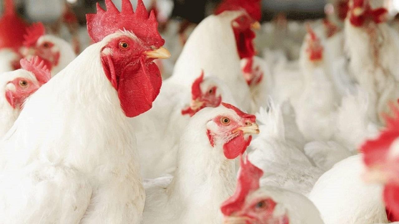 ممنوعیت خروج مرغ زنده از مریوان